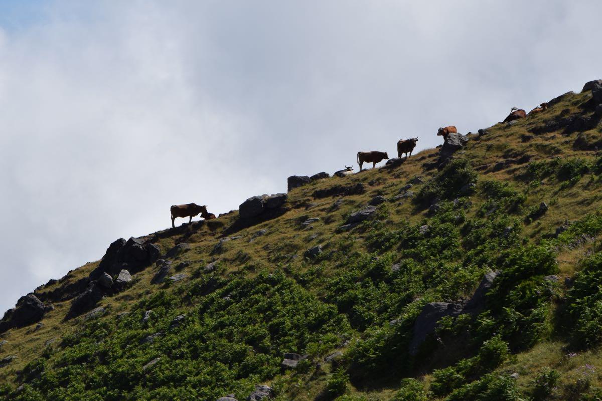 Wolkenfinder. Rinder auf Madeira, im Hochland Paul da Serra.