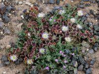 Blütenpracht auf kargem Sandboden.