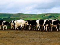 Terceira. Kühe, Kühe und nochmals Kühe.