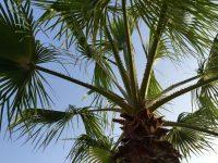 Die Palmen von La Palma ....
