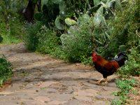 Bei Las Tricias: Hier führen die Hühner ein freies Leben!