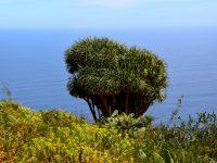 Drachenbaum bei Las Tricias, La Palma