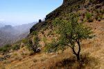 Mandelbäumchen am Roque de Bentayja
