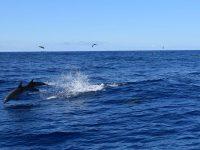 Synchronspringen. Delfine vor Tenerife. Sie sind neugierig auf eine Gruppe von Pottwalen in der Nähe....
