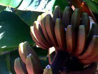 Rote Bananen. Wachsen im Palmetum in Santa Cruz de Tenerife.