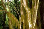 Im Nebelwald. Parque Nacional de Garajonay.