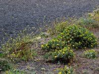 Frühjahrsblüte auf Lanzarote. Sparsam, aber schön.