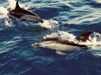 Delphine, mitten auf dem Atlantik.