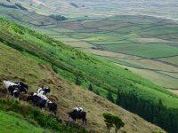 Weiden und Kühe, überall. Terceira.