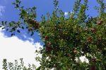Der rubinrote Cusinot hängt in Trauben am Baum.