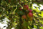 Gute Apfelernte.