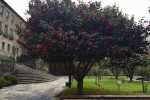 Kamelienblüte. In Pontevedra.