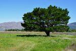 In den Salzwiesen wächst - ein Baum !