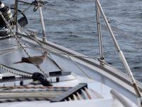 Wir bekommen Besuch von einer Taube. Sie wird mit uns bis zur Ile d´Yeu segeln.
