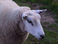Schafe, Schafe.