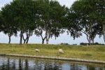 Bei Middelburg. Überall Deiche, überall Schafe.